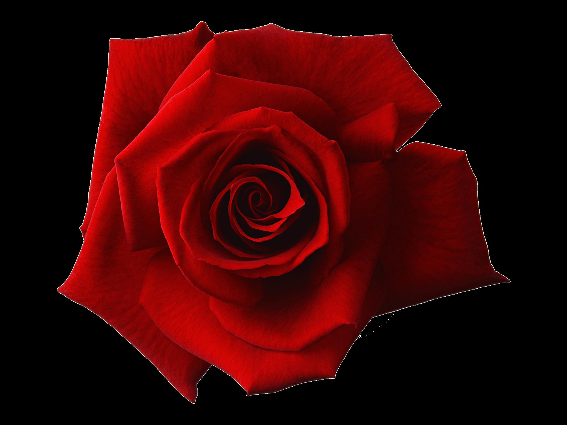 evighetsrosor Rosor och dess betydelser