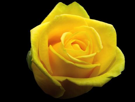 krya på dig blommor gula rosor