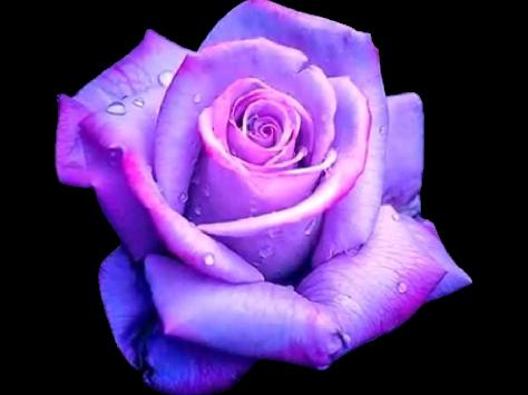 evighetsrosor lila rosors betydelse