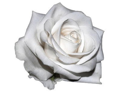 krya på dig blommor vita rosor